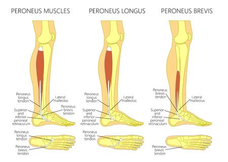 Vector illustratie van peroneus longus en peroneus brevis spier. Zijaanzicht van het been- en enkel- en voet- of voetaanzicht van de voet. Stock Illustratie