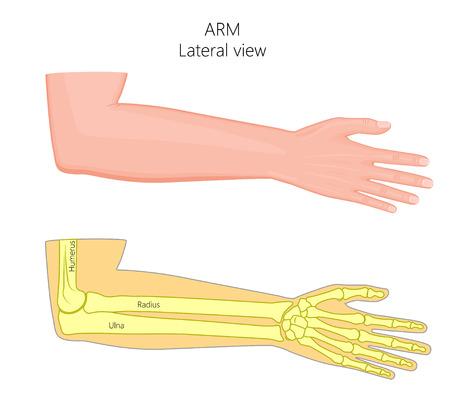 Illustration vectorielle d'un bras humain en bonne santé avec le coude et ses os. Vue latérale. Pour la publicité, les publications médicales. Vecteurs