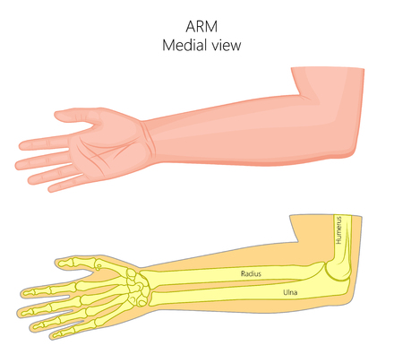 Vector illustration of a healthy human arm with elbow and its bones. Medial view. For advertising, medical publications. Stock Illustratie