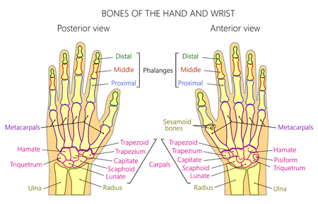 Vector illustration of a human hand with denominations of palm and wrist bones . Anatomy of dorsal (posterior) and palmar (anterior) views of  the hand. For advertising or medical publications. EPS 10 Vettoriali