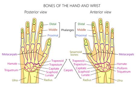Ilustración vectorial de una mano humana con denominaciones de huesos de la palma y la muñeca. Anatomía de las vistas dorsal (posterior) y palmar (anterior) de la mano. Para publicidad o publicaciones médicas. EPS 10