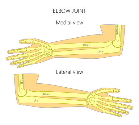 Vector illustration of a human elbow joint anatomy. Medial and lateral view of the bones of the arm. For advertising, medical publications.