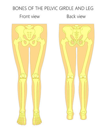 Vector illustration anatomy of a human pelvic girdle and legs. Front and back view. For advertising and medical publications.
