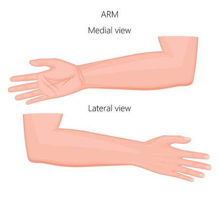 건강 한 유럽 인간의 팔의 벡터 일러스트 레이 션. 내측 및 측면보기. 광고, 의료 출판물.