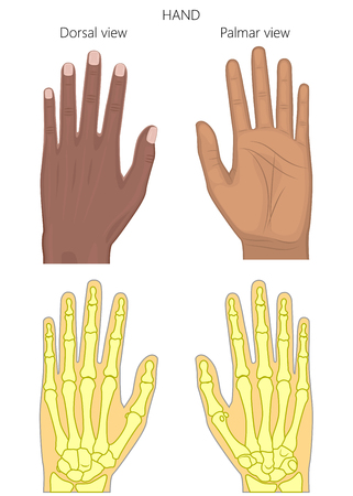 Vector illustration of a healthy human Afro American hand. External and skeletal view, dorsal and palmar view. For advertising, medical publications.