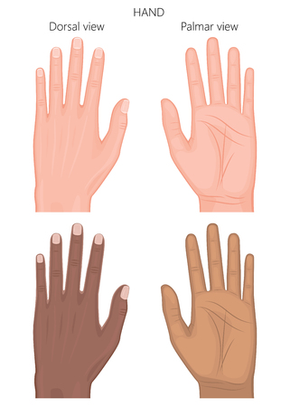 Vector illustration of a healthy human European and Afro American hand. Dorsal and palmar view. For advertising, medical publications. EPS 8.