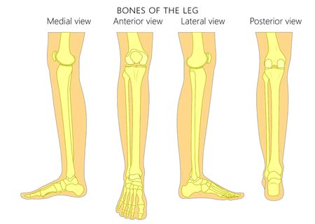 Bones of a human leg (different views: posterior, frontal, anterior, back, side, lateral, medial) with ankle and knee. Vector illustration for advertising, medical (health care) publications. EPS 10