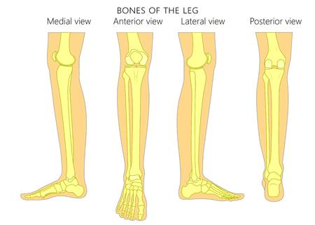 Knochen eines menschlichen Beins (verschiedene Ansichten: posterior, frontal, anterior, back, side, lateral, medial) mit Knöchel und Knie. Vektor-Illustration für Werbung, medizinische Publikationen (Gesundheitswesen). EPS 10 Standard-Bild - 92988466