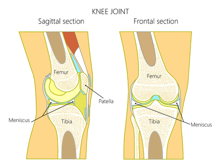 Vector illustration. Anatomy of a healthy knee joint, sagittal and frontal section of the knee. For advertising and medical publications.