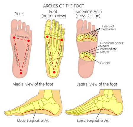 Diagram wektorowy Łuki stopy: łuki środkowe i boczne wzdłużne i poprzeczne.