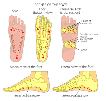 Vector diagram Arches of the foot: Medial and Lateral Longitudinal and Transverse Arches.