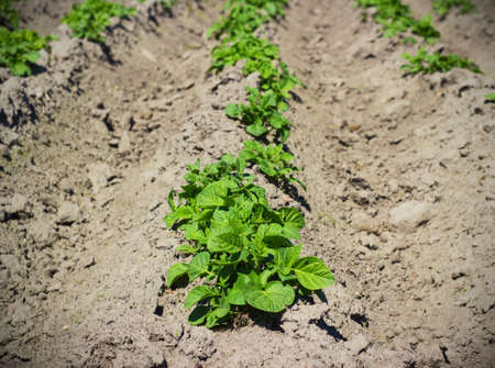 non cultivated land: Agricultural field on which has appeared young sprouts of a potato Stock Photo