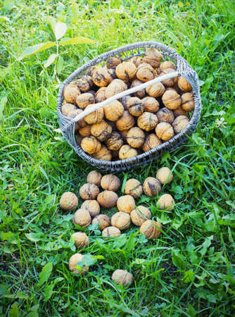 nutritiously: Basket with walnuts on the earth green grass Stock Photo