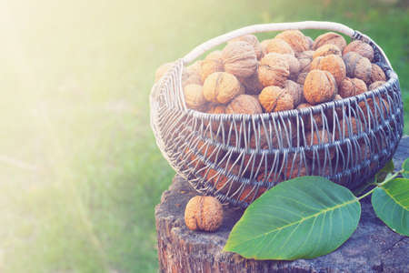 nutritiously: Basket with walnuts on a stump in the sun toning Stock Photo