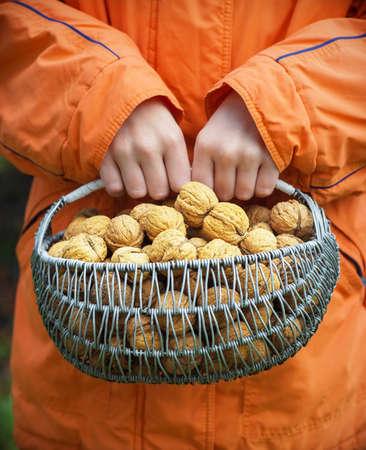 harvest basket: harvest basket of walnuts in the hands of a child