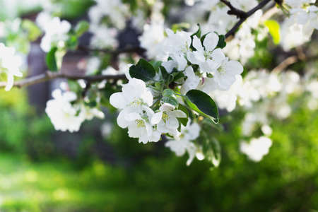selective focus: Blooming apple tree in spring selective focus Stock Photo