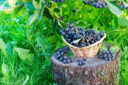 Black ashberry in a basket in the garden on the stump Stock Photo