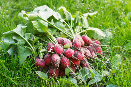 Fresh radishes on the grass in the garden on a sunny day.