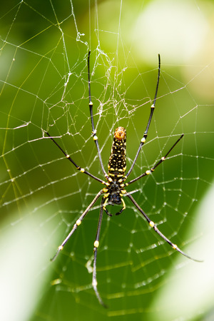 orb weaver: The Northern Golden Orb Weaver or Giant Golden Orb Weaver Nephila pilipes creating its web, ventral side. Bali, Indonesia. Stock Photo