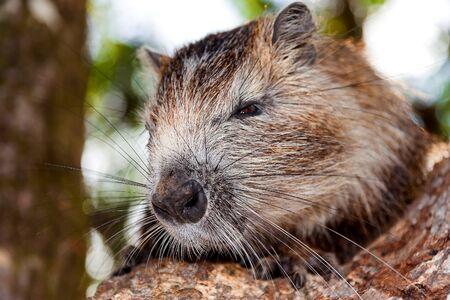 rata: Coypu Myocastor coypus, también conocida como la rata de río o nutria, es un herbívoro, roedor grande, semiacuática y el único miembro de la familia Myocastoridae. Coypu se sientan en una rama de árbol, Cuba. Foto de archivo