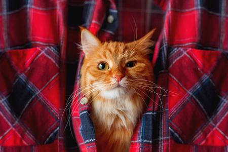 cabeza: Gato del jengibre puso su cabeza en una camisa de cuadros escoceses. mascota divertida con la emoci�n en el rostro arrogante. Foto de archivo