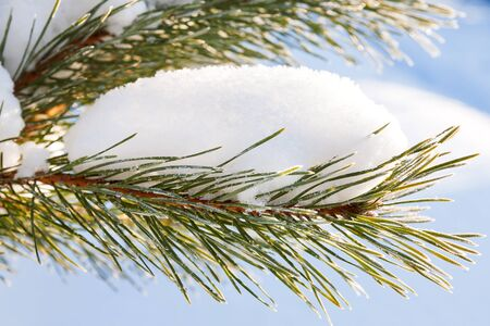 pinetree: Natural winter background with frozen pinetree branch. Snow lies on needles. Winter sunny day.