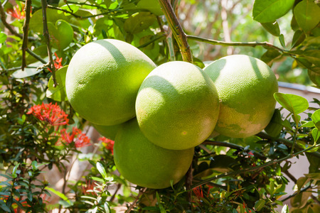 citrus maxima: Pomelo Citrus maxima on tree. Natural background with tasty fruits. Vietnam. Stock Photo