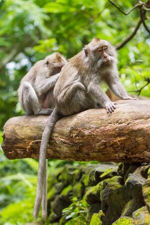 Monkeys on tree. Monkey forest in Ubud, Bali, Indonesia. Stock Photo