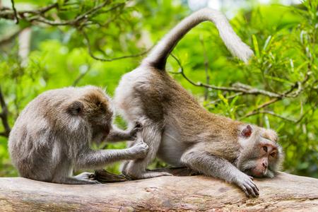 Monkeys on tree massaging each other. Monkey forest in Ubud, Bali, Indonesia.