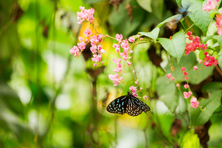malaisia: Butterfly collects pollen on flower, Kuala Lumpur, Malaisia. Stock Photo