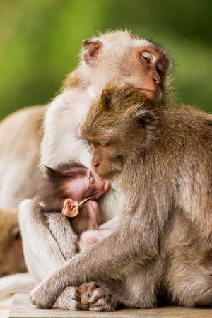 Sleeping monkeys. Monkeys family dozing. Monkey forest in Ubud, Bali, Indonesia. Stock Photo