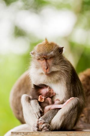 Sleeping monkeys. Monkey forest in Ubud, Bali, Indonesia. Stock Photo