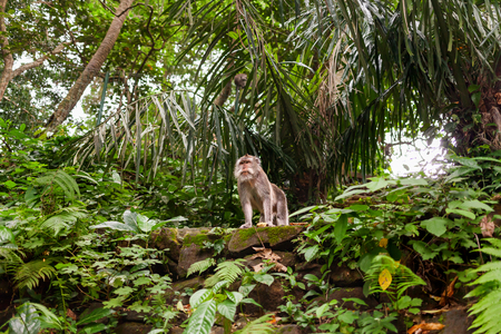 Monkey in jungle forest. Monkey forest in Ubud, Bali, Indonesia.