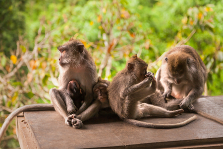 Monkey family in jungle forest. Monkey forest in Ubud, Bali, Indonesia. Stock Photo