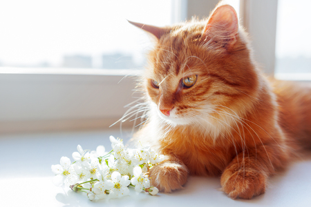 smells: Ginger cat smells a bouquet of cherry flowers. Cozy spring morning at home. Cute background with place for text. Soft focus.
