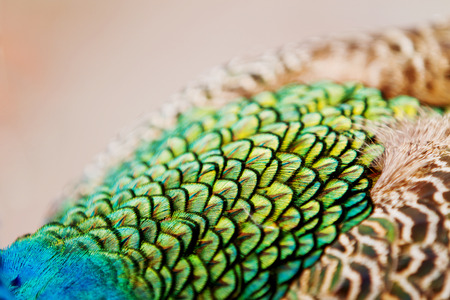 blue peafowl: Indian (blue) peafowl or peacock (Pavo cristatus). Details and texture of its feathers. Close up.