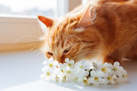 Ginger cat sniffs a bouquet of cherry flowers. Cozy spring morning at home.