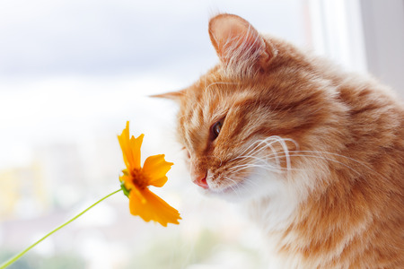 Ginger cat sniffs a bright yellow flower. Cozy morning at home. Banque d'images
