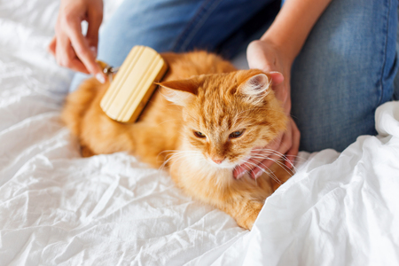 dozing: Woman combs a dozing cats fur. Ginger cats head lies on woman hand. The fluffy pet comfortably settled to sleep. Cute cozy background, morning bedtime at home. Stock Photo