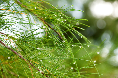 pinetree: Natural background with pinetree branches. Raindrops on pine needles.