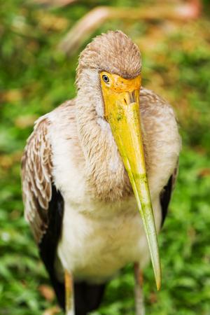 beak: The milky stork (Mycteria cinerea). Big bird with yellow beak. Malaysia.