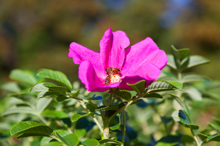 juntar: Bees collect pollen in the flowers of wild rose. Natural summer background with insects.