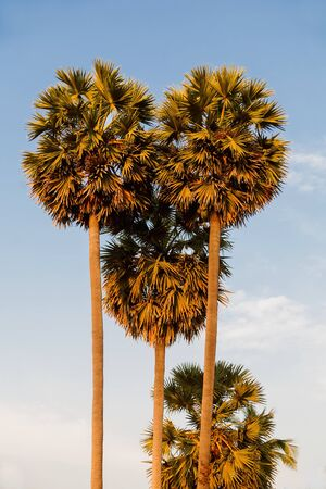 palmtrees: Palmtrees on blue sky background. Natural tropical background.