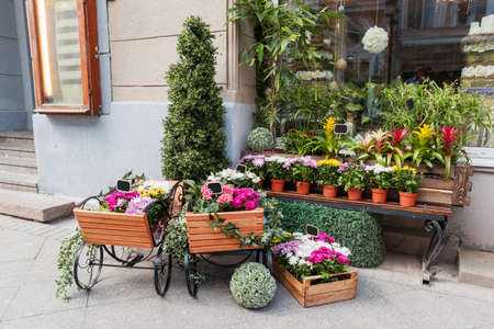guzmania: Potted flowers on showcase near the flower shop. Spring sale of hydrangeas, cyclamen, chrysanthemums. Moscow, Russia. Stock Photo