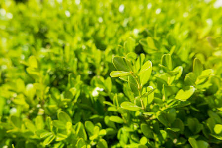 boxwood: Natural background with Buxus (Boxtree, boxwood). Close up photo in sunny day.
