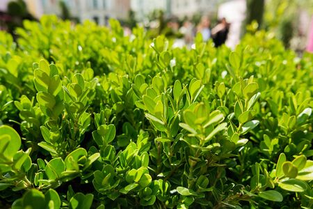 boxwood: Natural background with Buxus (Boxtree, boxwood). Close up photo in sunny day. Street decoration with plants.