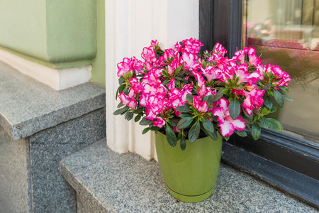 Potted flowers of pink azalea. Street decoration with plants and flower compositions. Moscow, Russia.