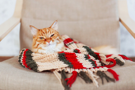 Cute ginger cat sleeps in striped knitted scarf. Fluffy pet is dozing in warm clothes. Cozy home background.