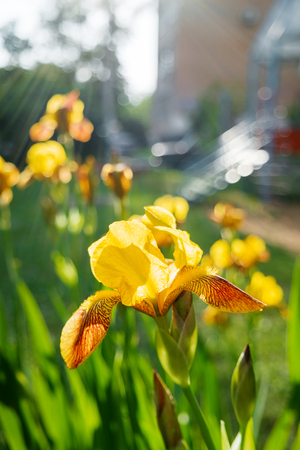 showy: Yellow iris in sunlight. Natural background with showy flowers. Stock Photo