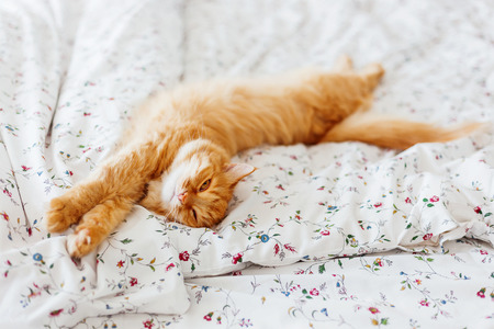 curiously: Cute ginger cat lying in bed. Fluffy pet looks curiously. Cozy home background. Place for text.